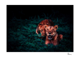 lions cubs pair jungle nature