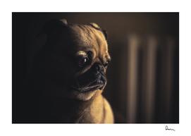 dog pug puppy pet animal canine