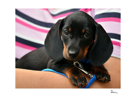 dachshund puppy young animal