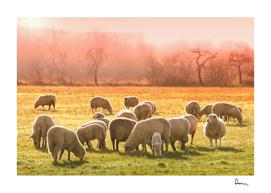 animal sheep flock of sheep meadow