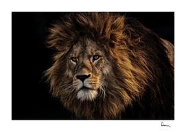 lion predator dangerous mane