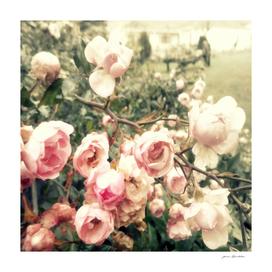 Vague memory and pink roses