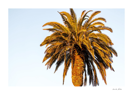 Shining Palm tree during sunset on Santa Monica Beach