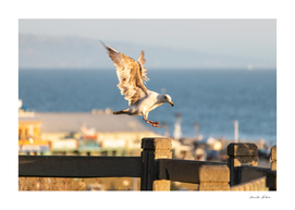 Seagull with Open Wings about to land on a fence