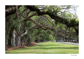 Line of Oaks Limbs Over Grassy Lane