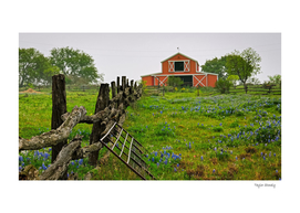 Bluebonnets and Barn
