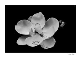 Magnolia Blossom on Black