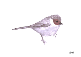 American Bushtit or Psaltriparus minimus bird