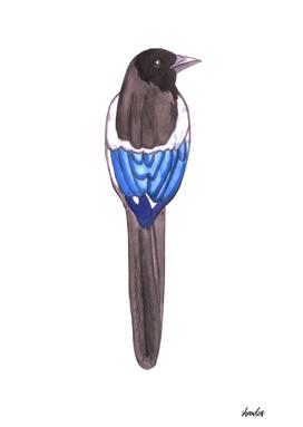 Black billed magpie or American magpie bird