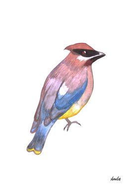 Cedar waxwing or Bombycilla cedrorum bird