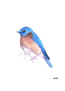 Eastern bluebird or Sialia sialis bird