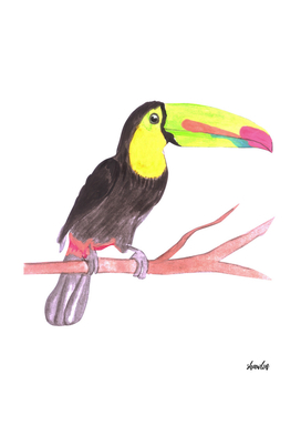 Keel billed Toucan or Ramphastidae sulfuratus bird