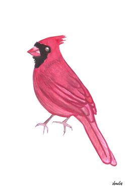 Northern cardinal or Cardinalis cardinalis bird