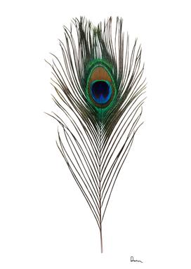 Peacock Plumage bird asiatic peafowl feather