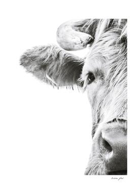 Highlander Cow I