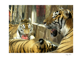 Family that dines tigers in the zoo meat