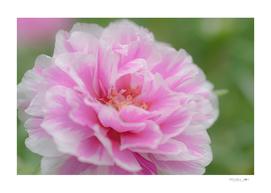 Sweet pink flower