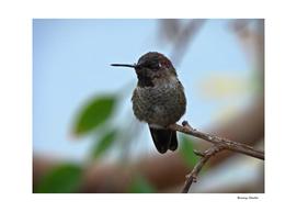 Juvenile Male Anna's Hummingbird