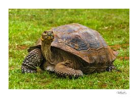 Galapagos-Giant Turtle, Ecuador