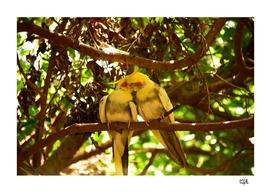 Cockatoo kiss