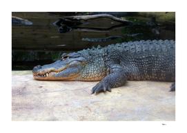 Alligator du Mississippi