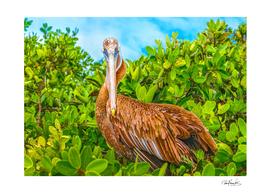 Big Pelican at Top of Tree , Galapagos Island, Ecuado