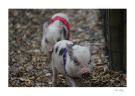 Piglet race