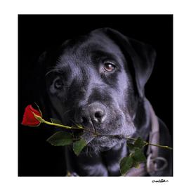 Black lab in love