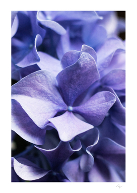 Isn't she lovely - Lilac Hydrangea