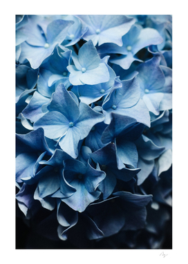 Pretty Sight - Blue Hydrangea