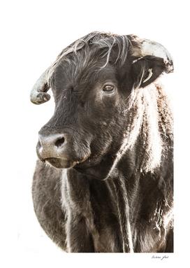 Bulls Head ll