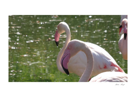 The Beauty of Flamingos