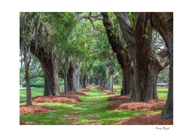 Avenue of Oaks Over Grass