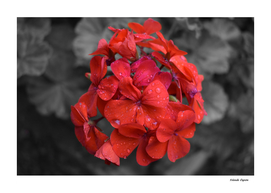 Red Geranium Tears