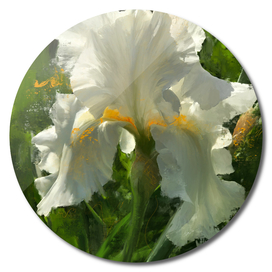 White Iris at Wawuatosa