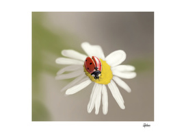 Lady bug on chamomile flower