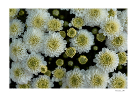 close-up view of white chrysanthemum flowers in blooming