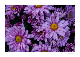 Top view of violet flowers on bloom