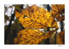 Fall Leaves 2