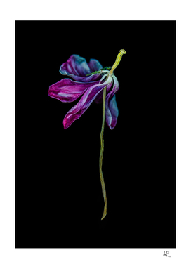 Scanned dried tulip