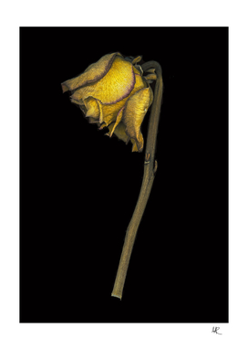 Scanned yellow dried rose