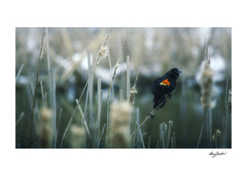 red wing blackbird serenades in the swamp