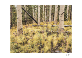 Aspen Spring // Morning in the Yellow Woods