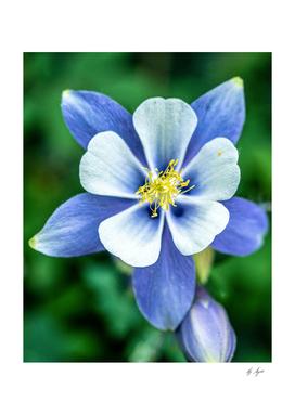 Mariposa Lilly Purplish Blue White Petals