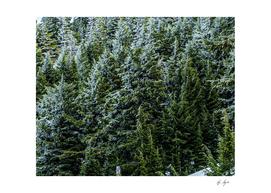 Evergreen Forest Dense Woods