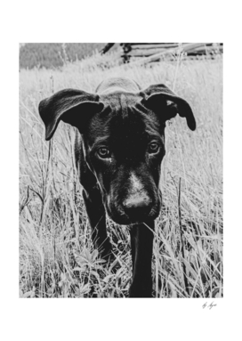 Black Lab in the Wheat Field Black and White Filter