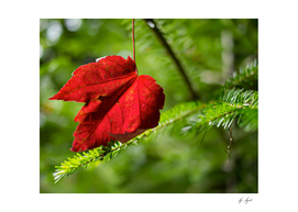 High Resolution Photo Red Leaf on a Pine Tree