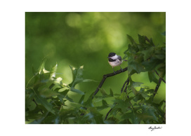 young chickadee learning to hunt
