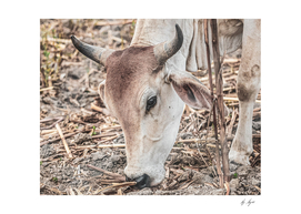 Close Up Grazing Cattle in South America