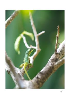 Caribbean Lizard